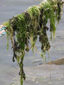 brest2106 algues2